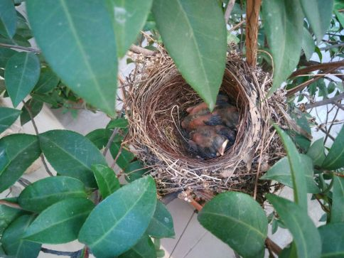 nido-con-merli